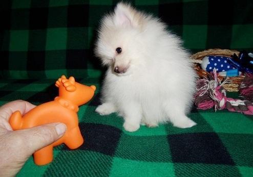 Žaismingas pamario šuniukas