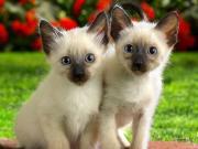 Siamo katinėliai dėlionė